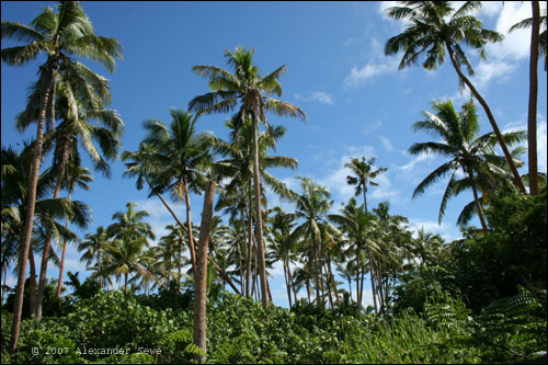 Palm trees in Fiji